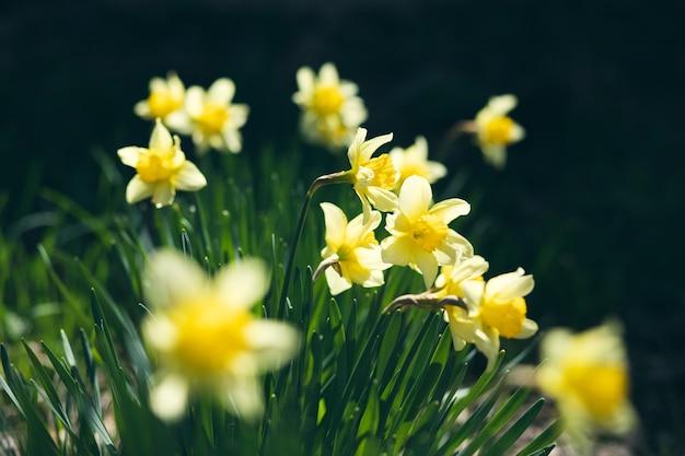 Группа ярко-желтых нарциссов в саду