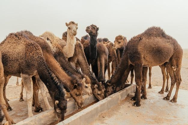 Группа верблюдов пьет воду в пасмурный день в пустыне