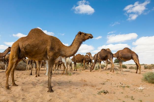 Layoun 모로코에서 사막에서 풀을 먹는 낙 타의 그룹