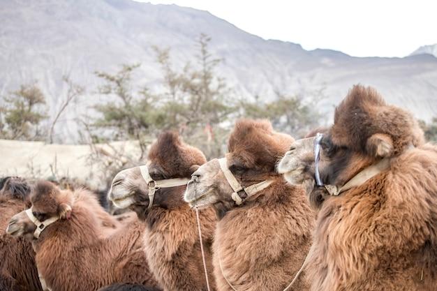 ジャンムーとカシミール州のラダック地方のハンダー砂丘にあるヌブラバレーのラクダのグループ