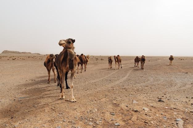 憂鬱な日に砂漠のラクダのグループ