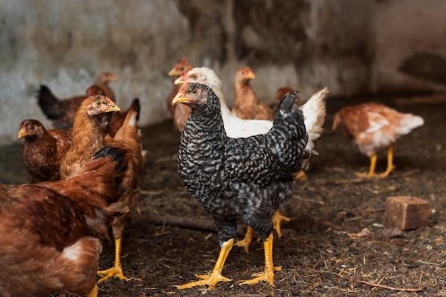 Группа цыплят во дворе фермы