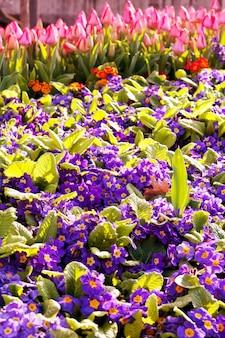 春の庭のカラフルなチューリップのグループ。