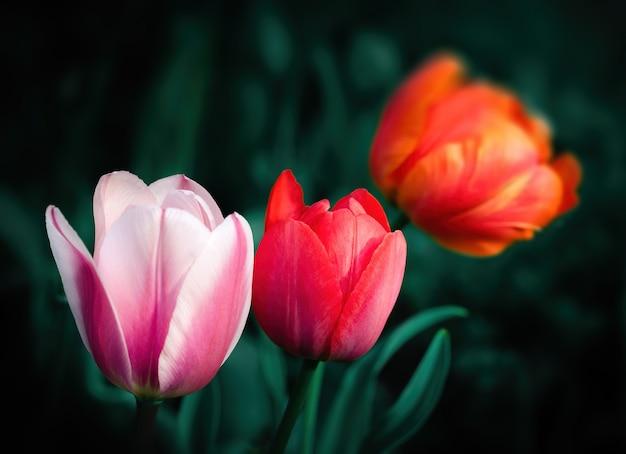 Группа красочных тюльпанов в саду в весеннее время. малая глубина резкости.