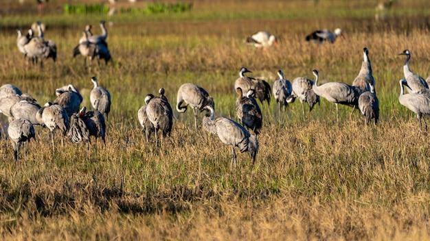Ampurdan의 습지의 자연 공원에서 새벽에 일반적인 크레인의 그룹입니다.