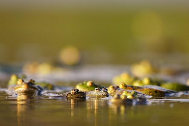 水中のヨーロッパアカガエルranatemporariaのグループ