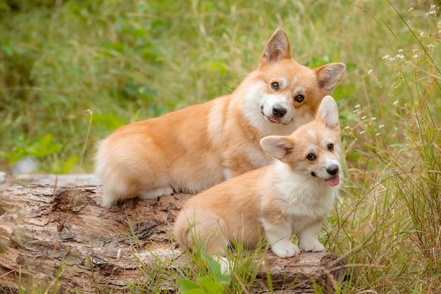 夏の散歩にコーギー犬のグループ