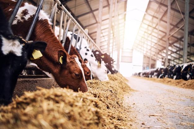 酪農場で干し草や飼料を食べている牛舎の牛のグループ。