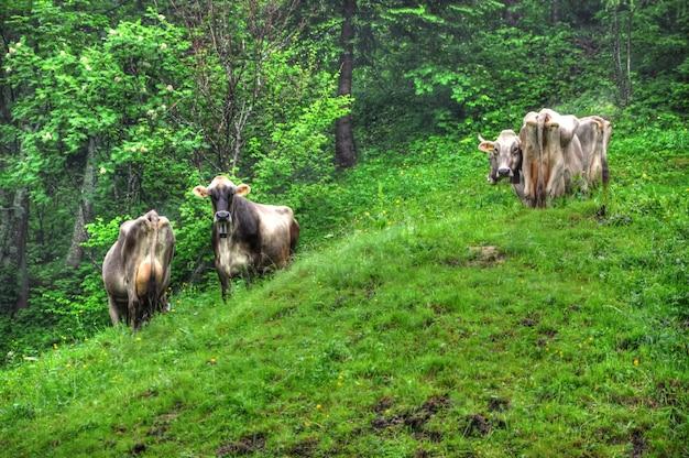 草が茂った山の斜面で放牧している牛のグループ