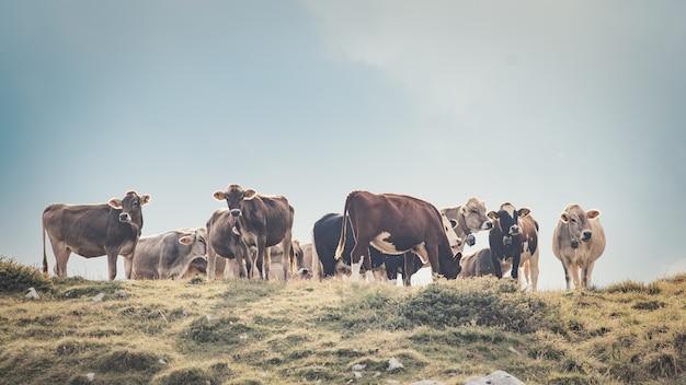 Группа коров на итальянском пастбище