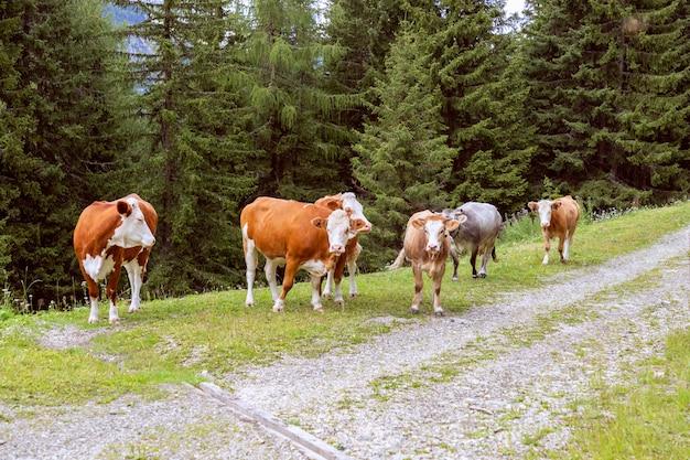 Группа коров в итальянских альпах.