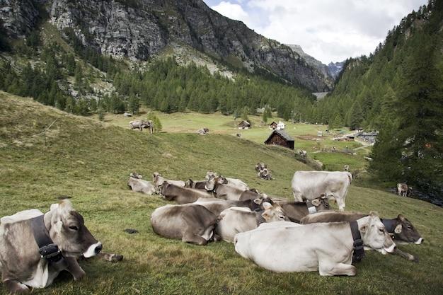 햇빛 아래 녹지로 덮인 언덕으로 둘러싸인 땅에 누워있는 소의 그룹