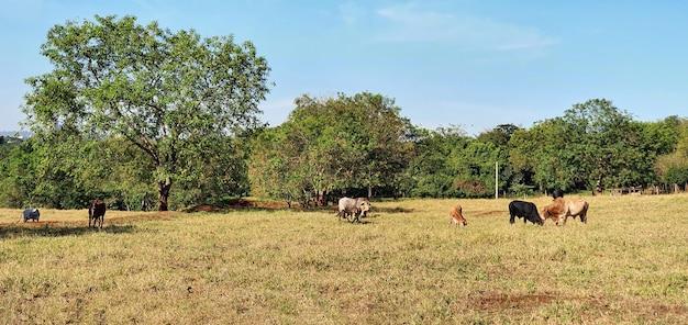 Группа коров на ферме недалеко от города на голубом небе с закатом.