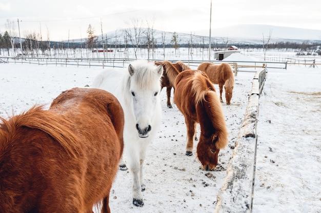 スウェーデン北部の雪に覆われた田園地帯でぶらぶらしているかわいい馬のグループ