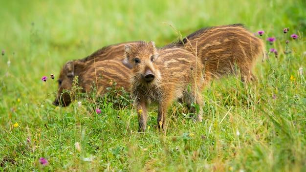 春の緑の牧草地に茶色の縞模様のかわいいイノシシ、イノシシ、子豚のグループ。低角度のビューからの草の中の小さな若い動物だけ。自然の中で探している若い哺乳類の赤ちゃん
