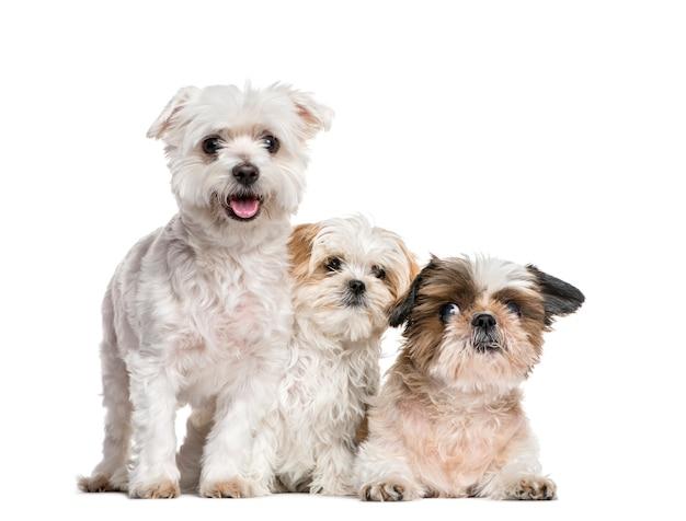 Группа собак ши-тцу и мальтийских вместе, изолированные