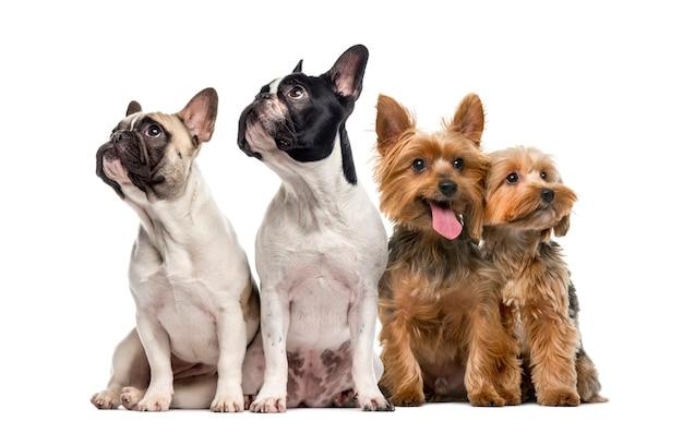 白で隔離されて座って見上げる犬のグループ
