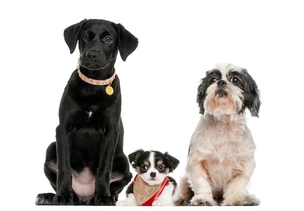 一緒に座っている犬のグループ、白で隔離