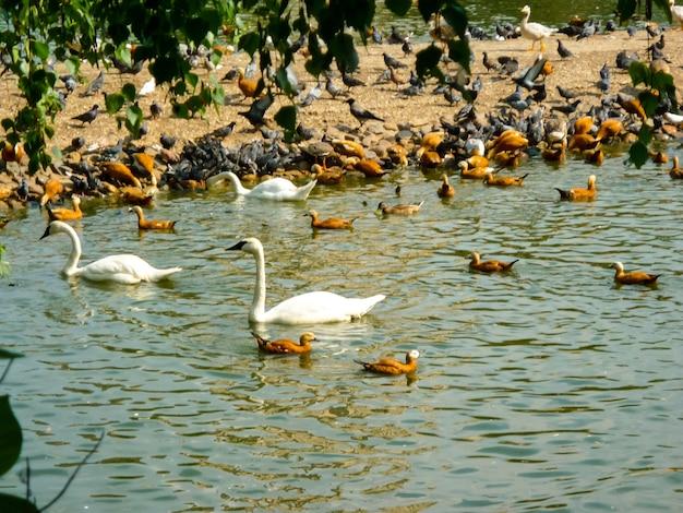 Группа утка и лебедь, птица на пруду рядом с лесным фоном. сочи.