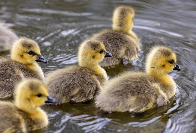 연못에 새끼 오리의 그룹