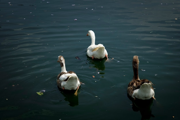 멕시코시티 차풀테펙의 호수에서 수영하는 오리 무리