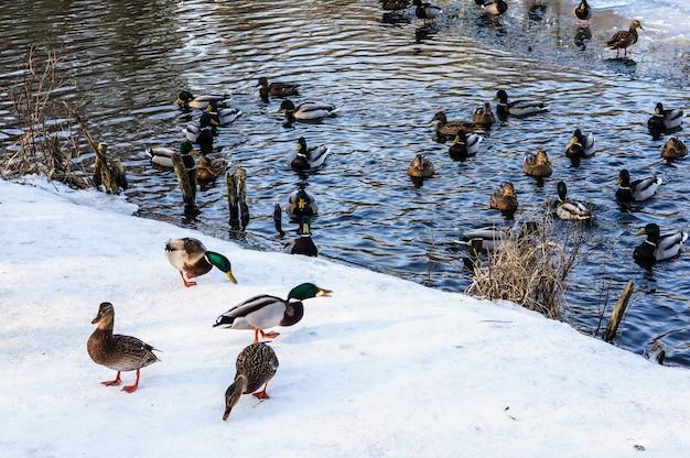 冬に池で泳ぐアヒルのグループ
