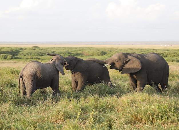 アフリカ、ケニアのアンボセリ国立公園の象のグループ