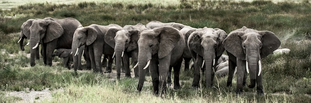 セレンゲティ国立公園の象のグループ