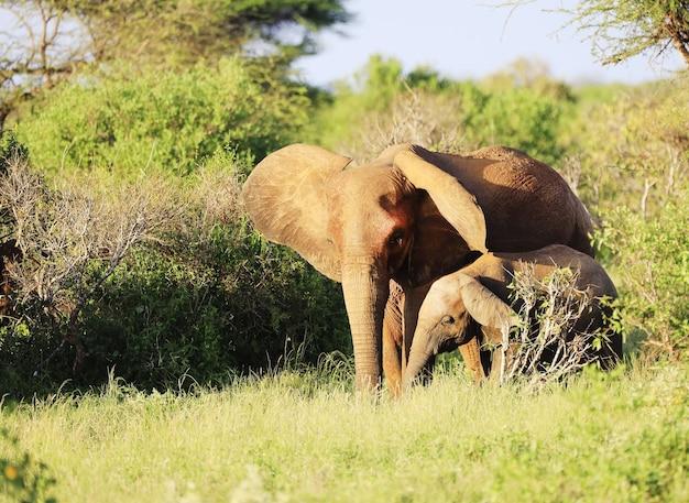Tsavo 동쪽 국립 공원, 케냐, 아프리카에서 코끼리의 그룹