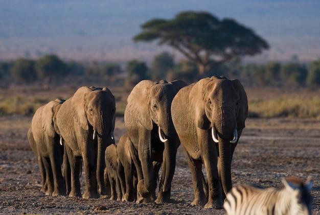 Группа слонов гуляет по саванне.