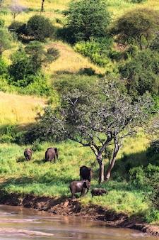 Группа слонов у реки. тарангире, танзания