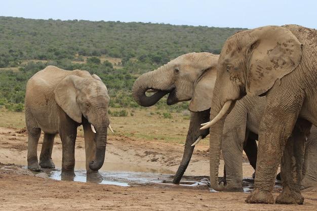 ジャングルの真ん中にある小さな湖の周りで遊んでいる象のグループ