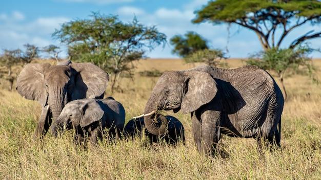 荒野の乾いた草の上を歩く象のグループ