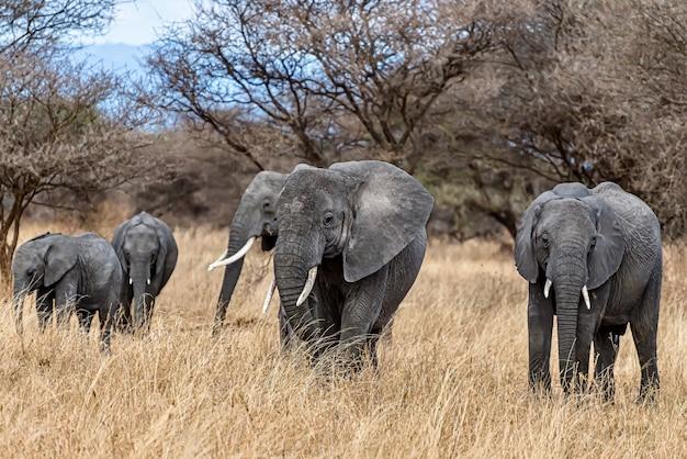 Группа слонов, идущих по сухой траве в пустыне