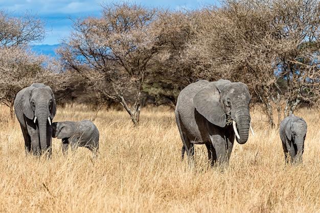 야생에서 마른 잔디에 걷는 코끼리의 그룹