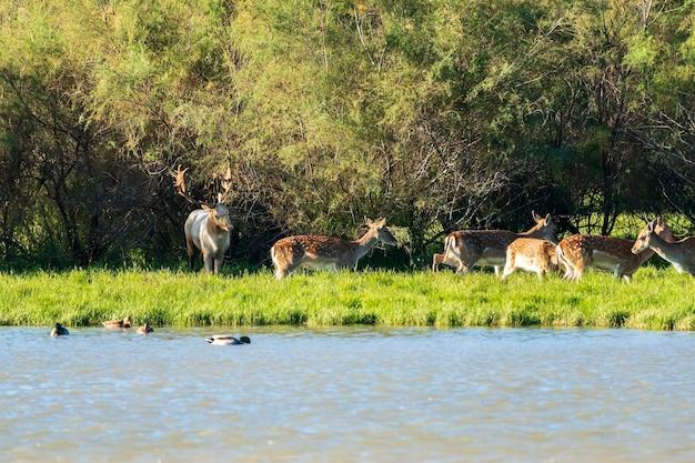 スペイン、カタルーニャ、ジローナのアンプルダー湿原の自然公園にいる白人男性とダマジカのグループ。