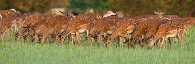 Группа оленей, пасущихся на поляне в весенней природе