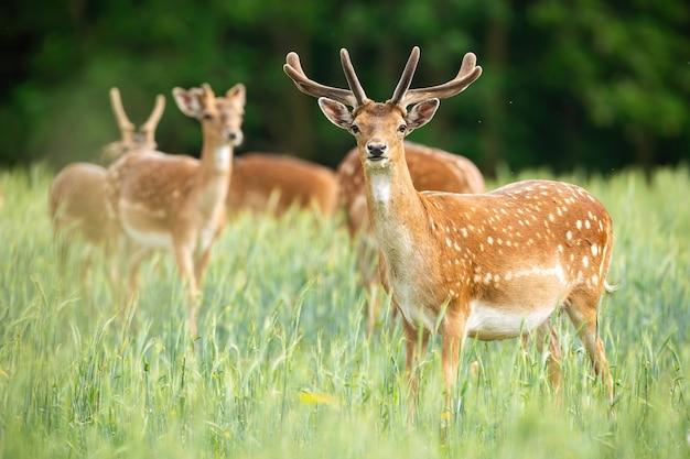 Группа оленей ланей, стоя на лугу в летнее время.