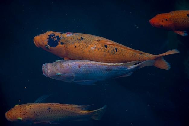 池の上から見た色違いの魚の群れ
