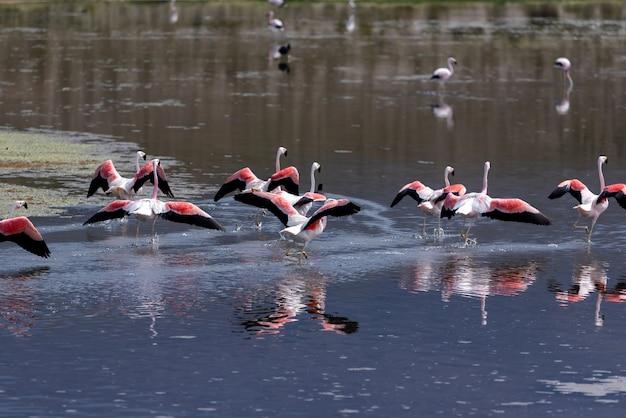 ピンクの湖のフラミンゴのグループ