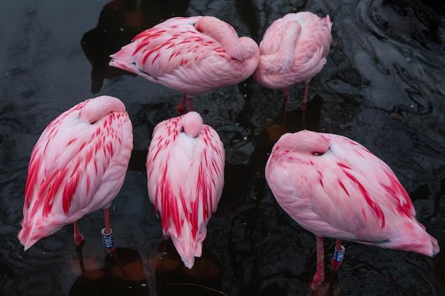 スペイン動物園の池でフラミンゴまたはオオフラミンゴのグループ、翼の下に頭を隠す