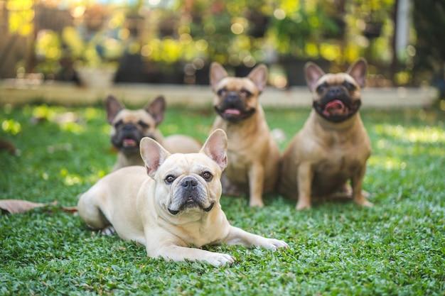 庭の草の上に横たわっているフレンチブルドッグのグループ。