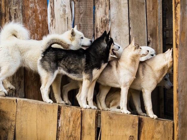 Группа забавных хаски заглядывает в дверь в деревянной будке для собак