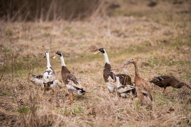 Группа гусей, гуляющих по двору и саду