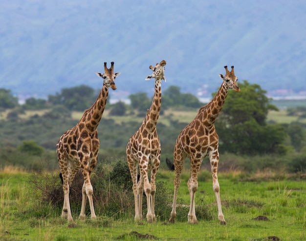 Группа жирафов в национальном парке мурчинсон-фолс. африка. уганда.