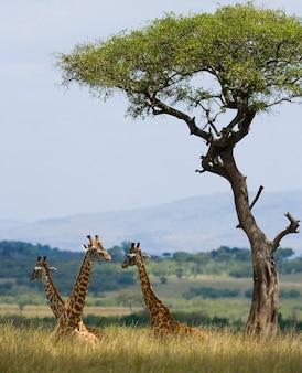 사바나에서 기린의 그룹입니다.