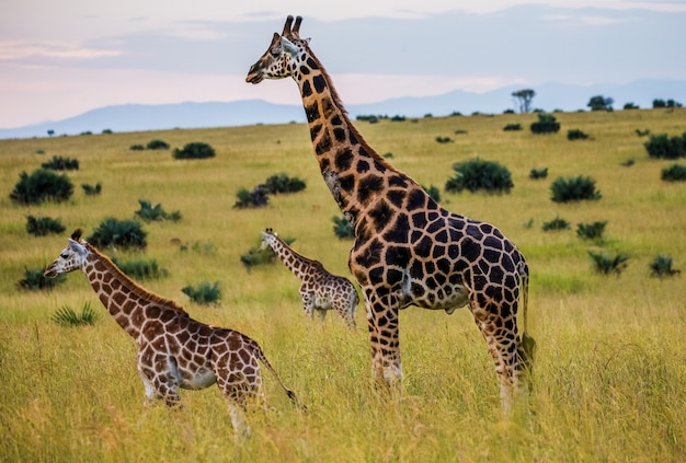Группа жирафов в саванне.