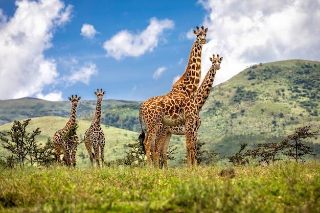 Группа жирафов. танзания нгоронгоро