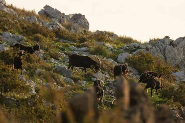 Группа коз, едят и дерутся на горном холме в утреннем восходе солнца в кантабрии