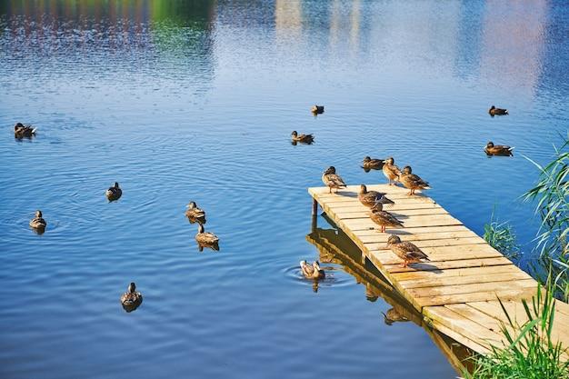Группа серых уток, плавающих в голубой воде и стоящих на пирсе. утки греются на солнце на деревянной пристани. жизнь птиц в парках.